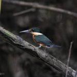 AmPygKingfisher_NWC_071811