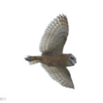 BarnOwl_AntelopeValley_011611
