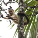 Capuchin_NWC_072311