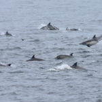 CommonDolphin_SBChannel_060411