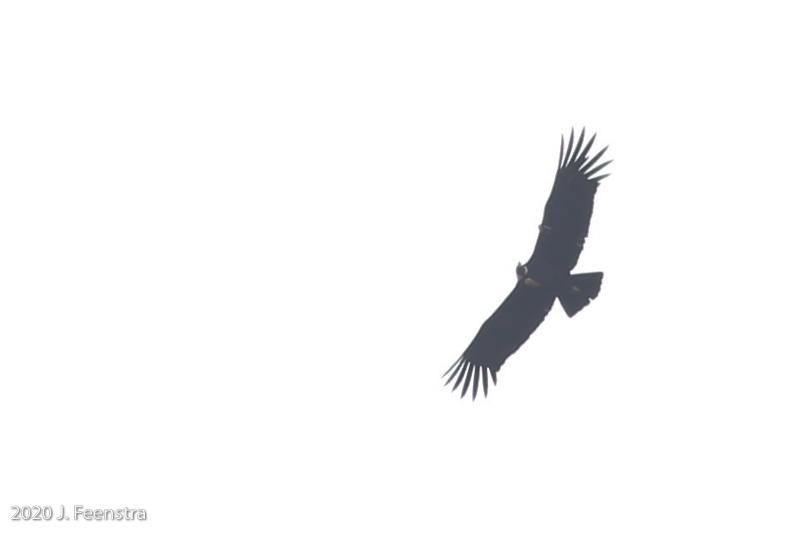 Andean Condor, Parque Nacional Antisana, 1/29/20