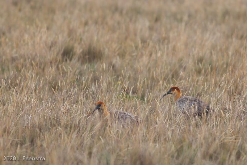 Andean Ibis, Parque Nacional Antisana, 1/29/20