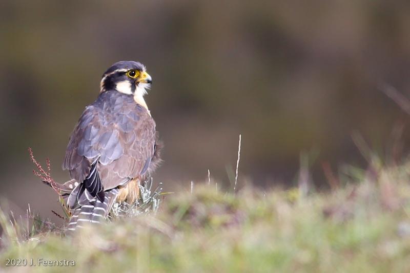 Aplomado Falcon, Parque Nacional Antisana, 1/29/20