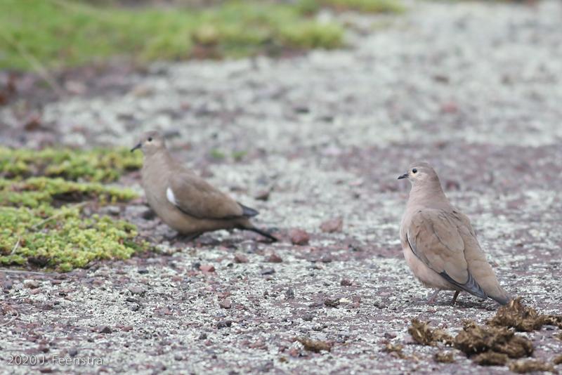 Black-winged Ground Doves, Parque Nacional Antisana, 1/29/20