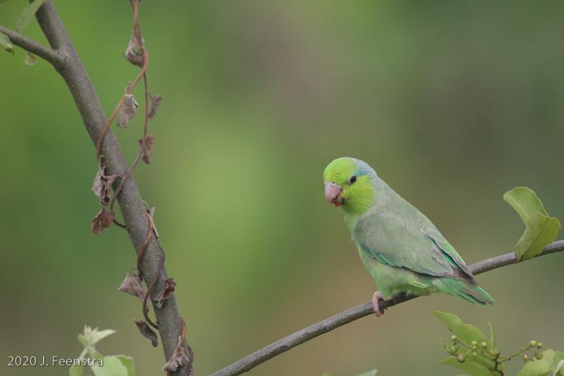 Pacific Parrotlet, Humedal la Tembladera, 1/28/20