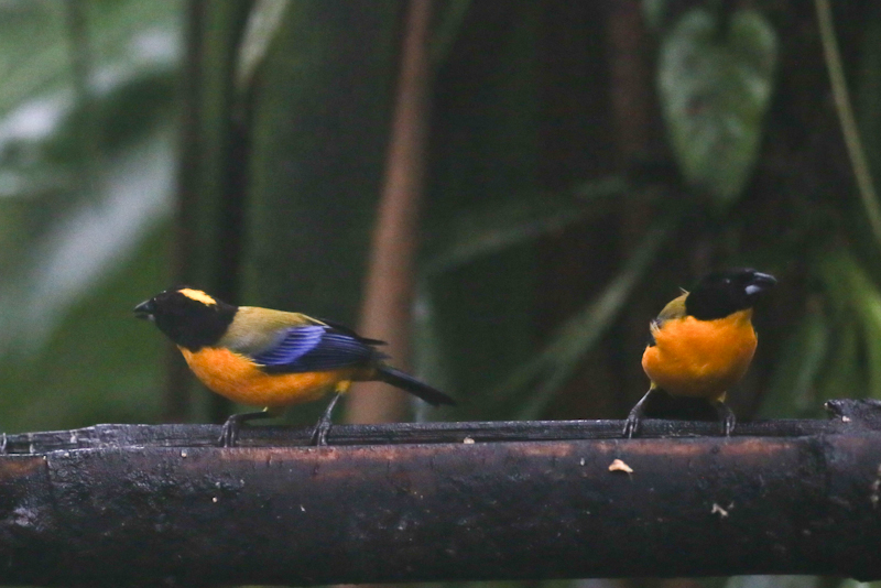 Black-chinned Mountain-Tanagers