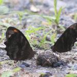 Butterflies and poop