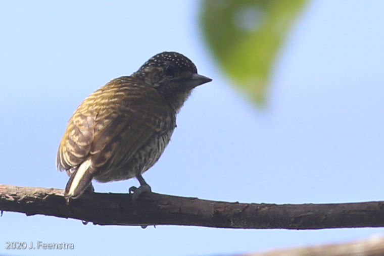 Lafrasnaye's Piculet