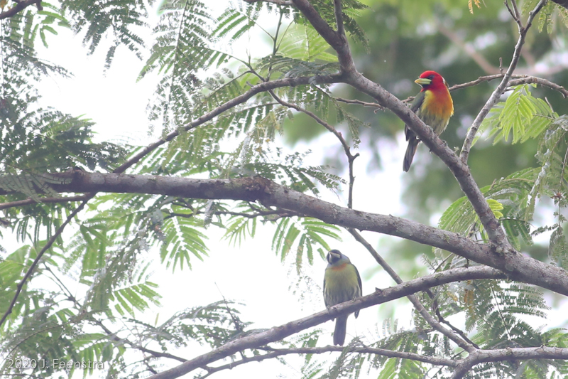 Red-headed Barbets