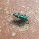 Weevil at Wildsumaco