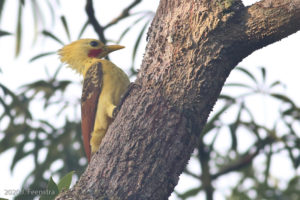 Cream-colored Woodpecker