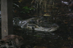 Mama Lucy the black caiman