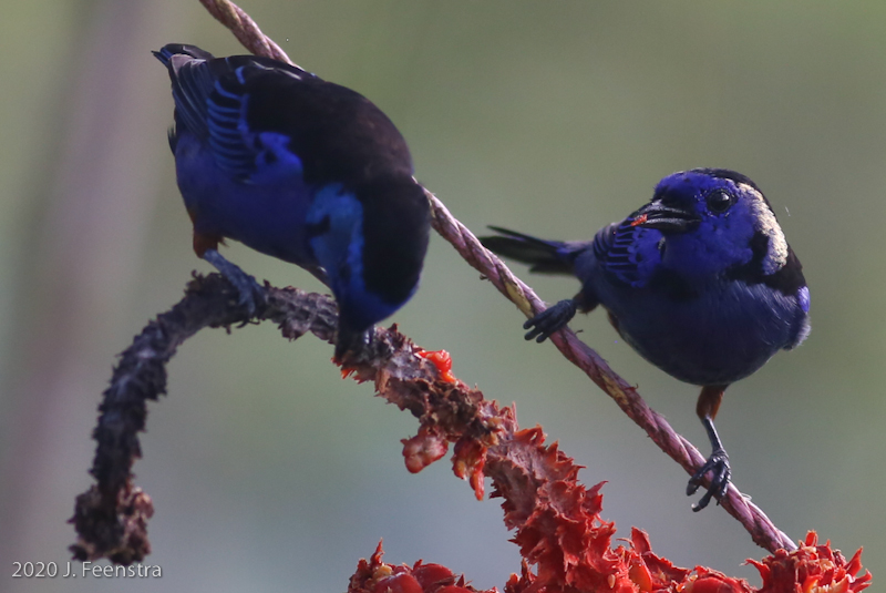 Opal-rumped Tanagers