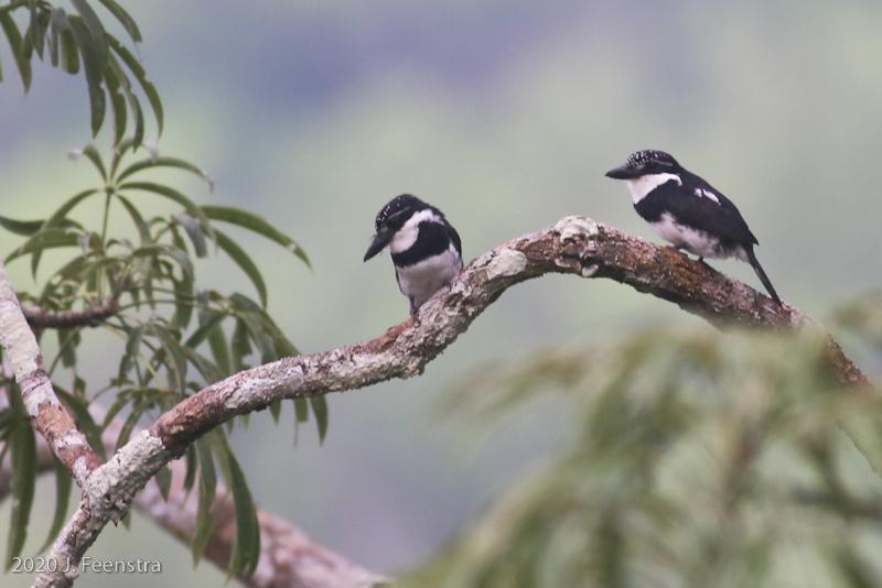 Pied Puffbirds