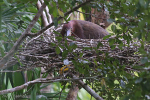 Rufescent Tiger-Heron nest
